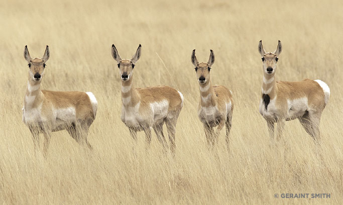 Geraint Smith, Pronghorn Antelope